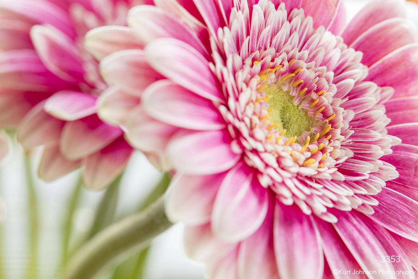 flower pink daisy petals pink petals flowers