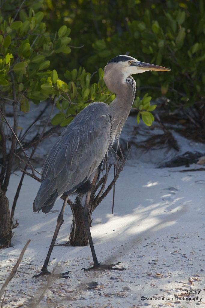 wildlife crane beach sand florida