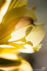flower yellow abstract texture lines details lily