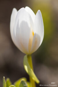 flower white blood root bud blooming