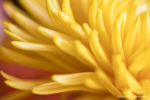 flower yellow petals detail close up spider mum abstract