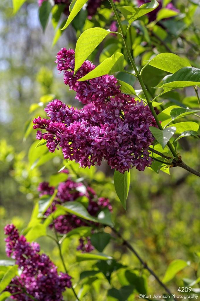 flower purple flowering tree green leaves