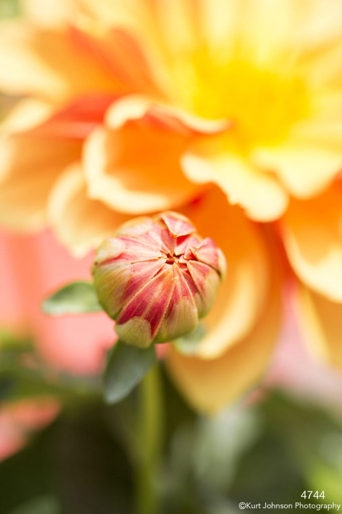 flower bud orange blooming petals close up details texture yellow