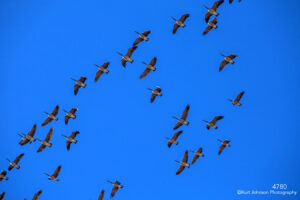 wildlife geese blue sky