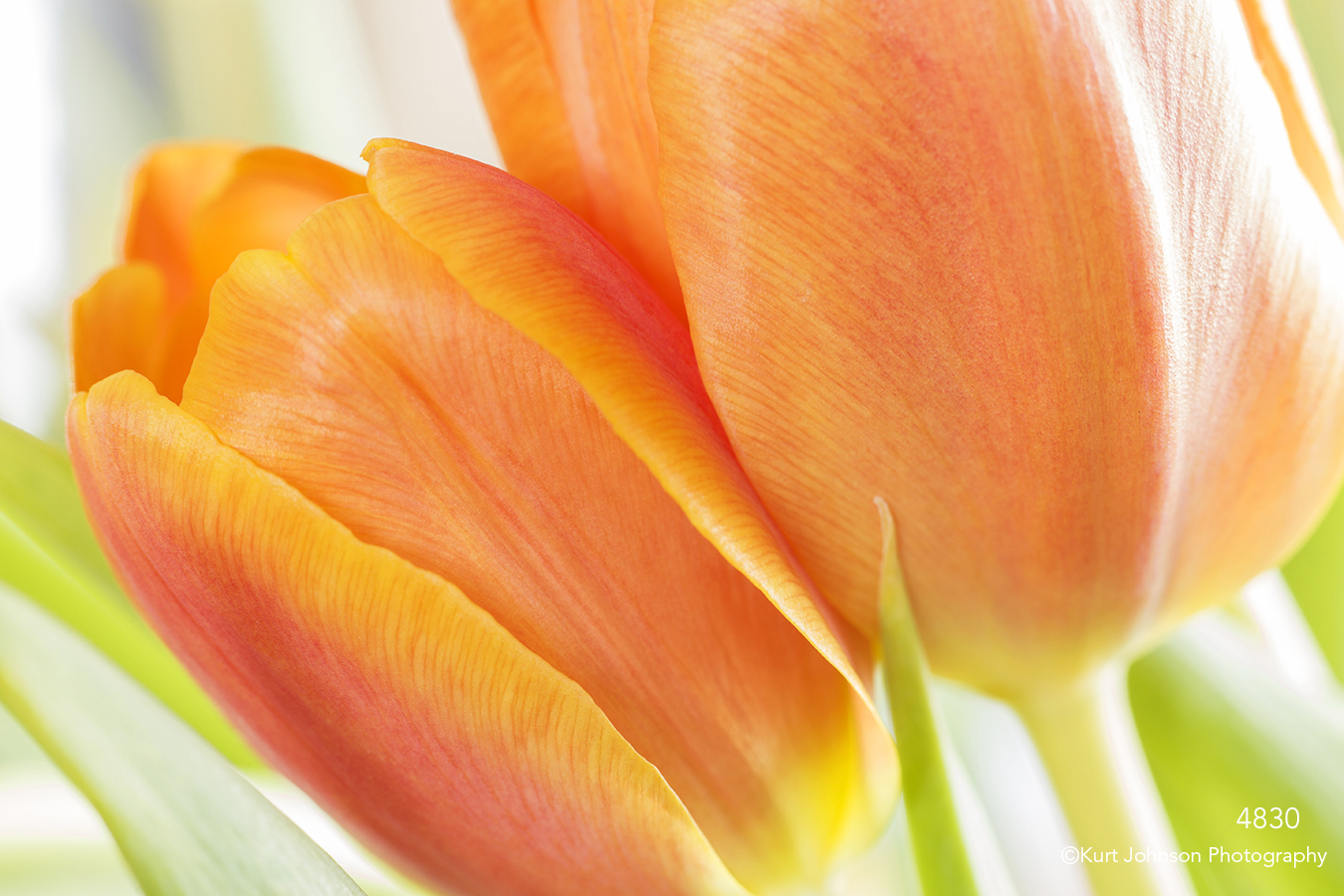 flower orange tulips close up texture details petals abstract