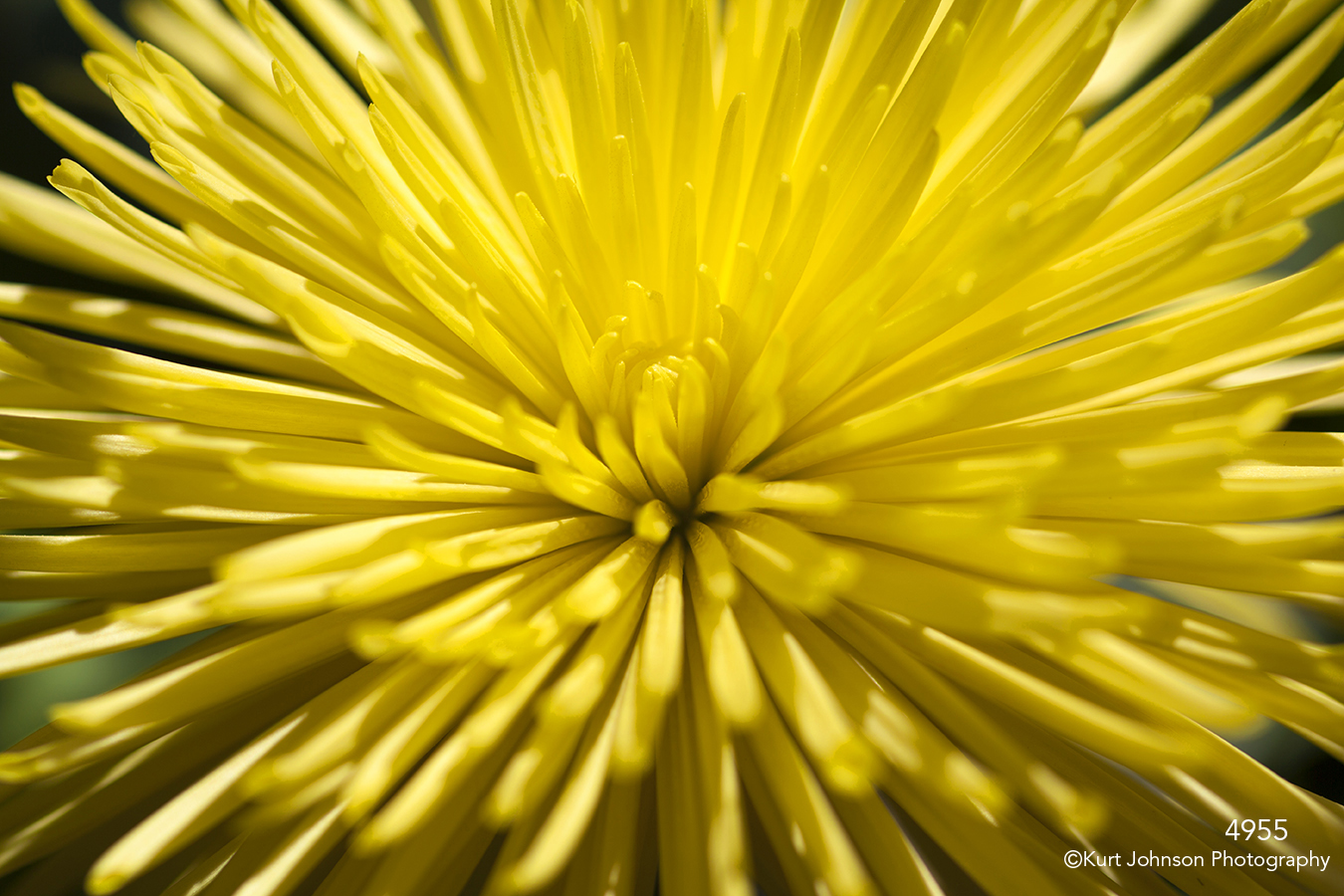 flower yellow petals texture close up details spider mum