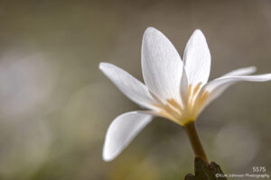 flower white blood root blooming texture