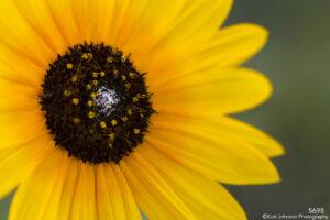 flower yellow black eyed susan close up detail petals