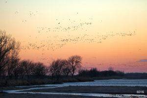 landscape sunset cranes birds wildlife nebraska water river pink