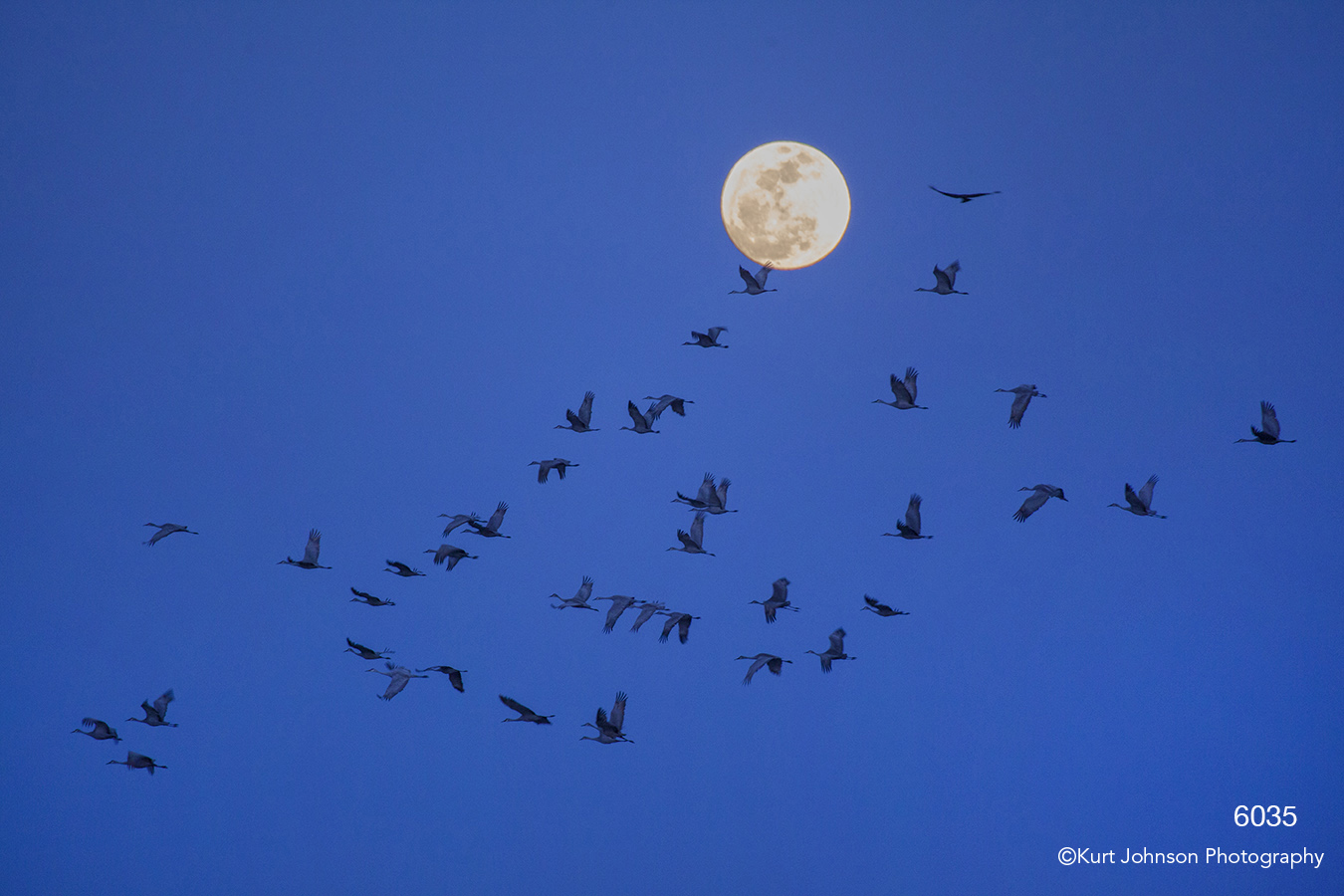 wildlife cranes sandhill moon sky blue