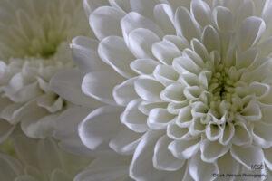 flower white petals mums