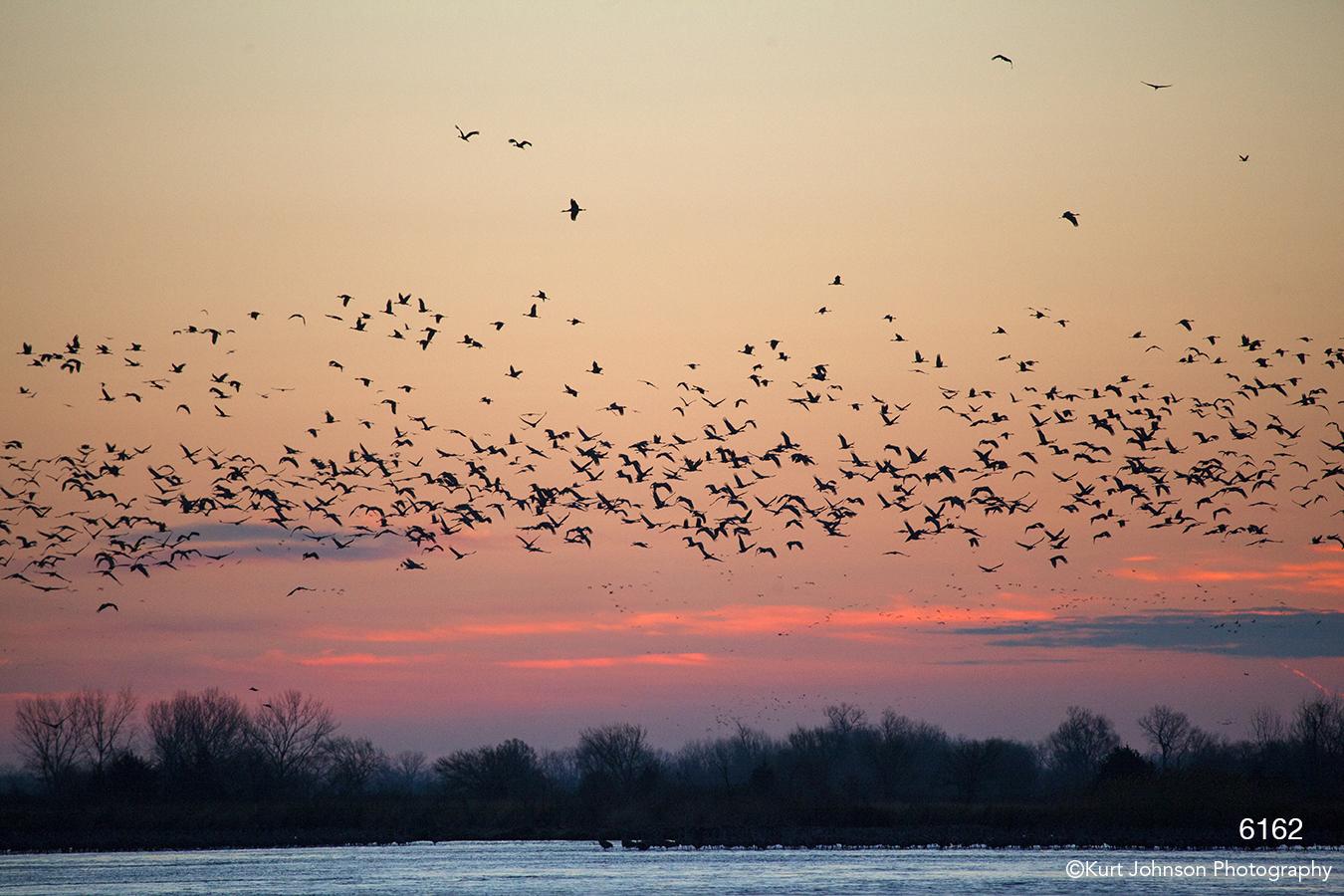 wildlife water landscape birds cranes sunset pick clouds light nebraska sandhill