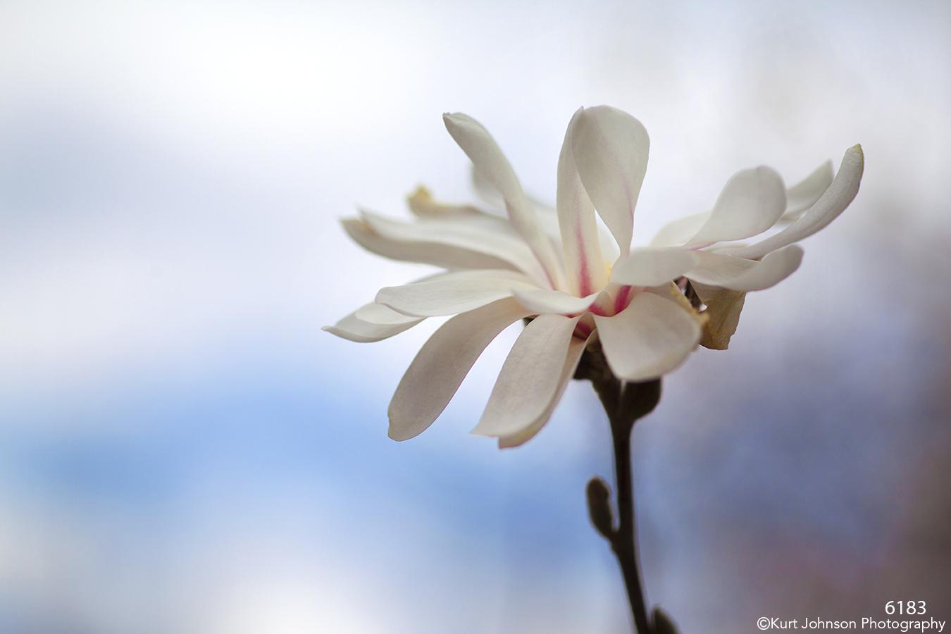 flower white dogwood tree flowering