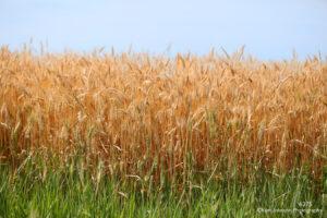 grasses landscape crop wheat gold green texture