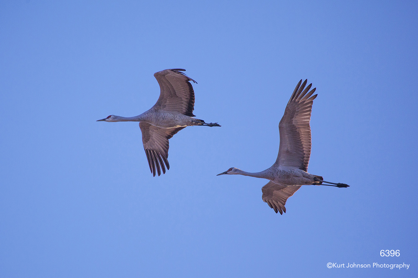 wildlife cranes birds sky sandhill blue