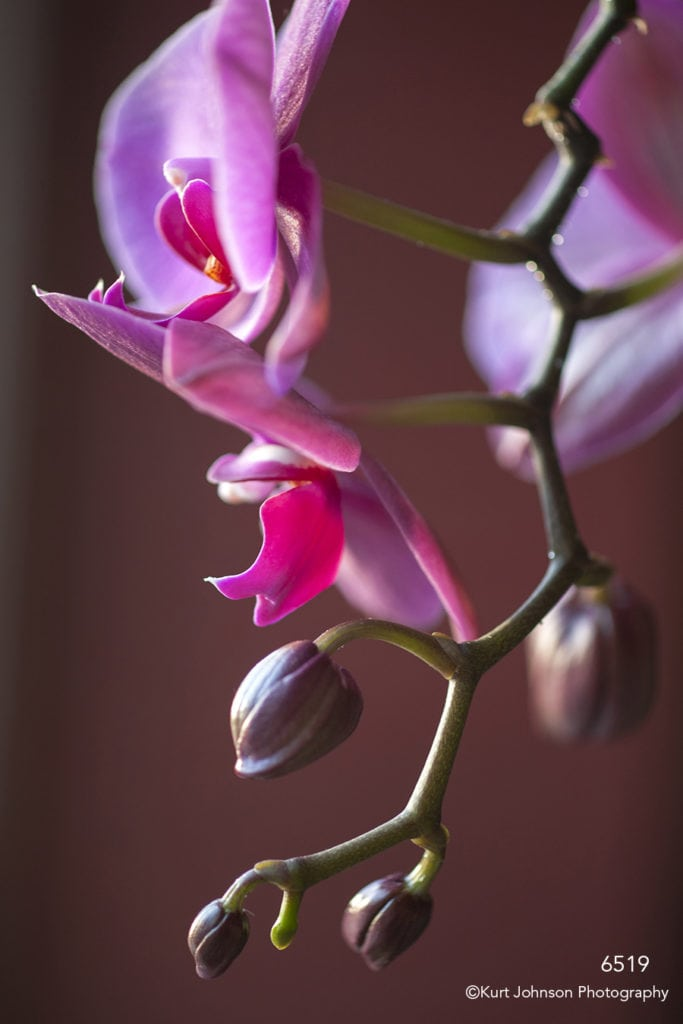 flower orchid purple pink buds blooming stem