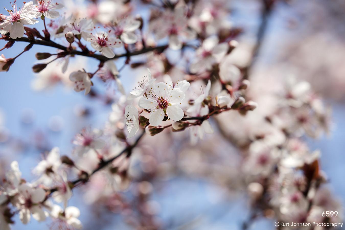 flower white pink flowering tree