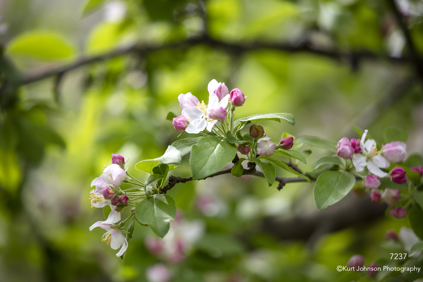flowers white flowering tree buds blooming pink