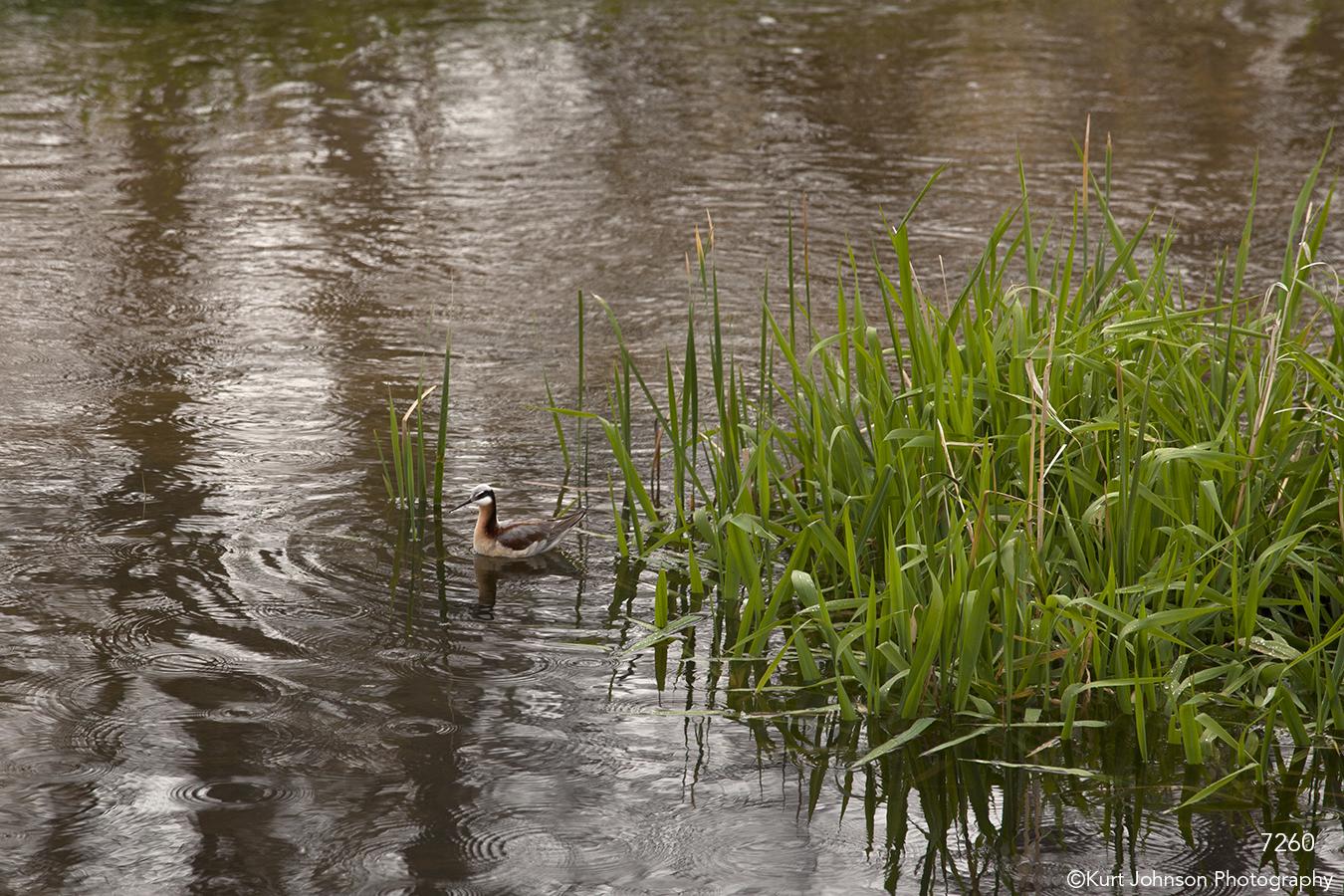 waterscape grasses wildlife water duck bird earthtones