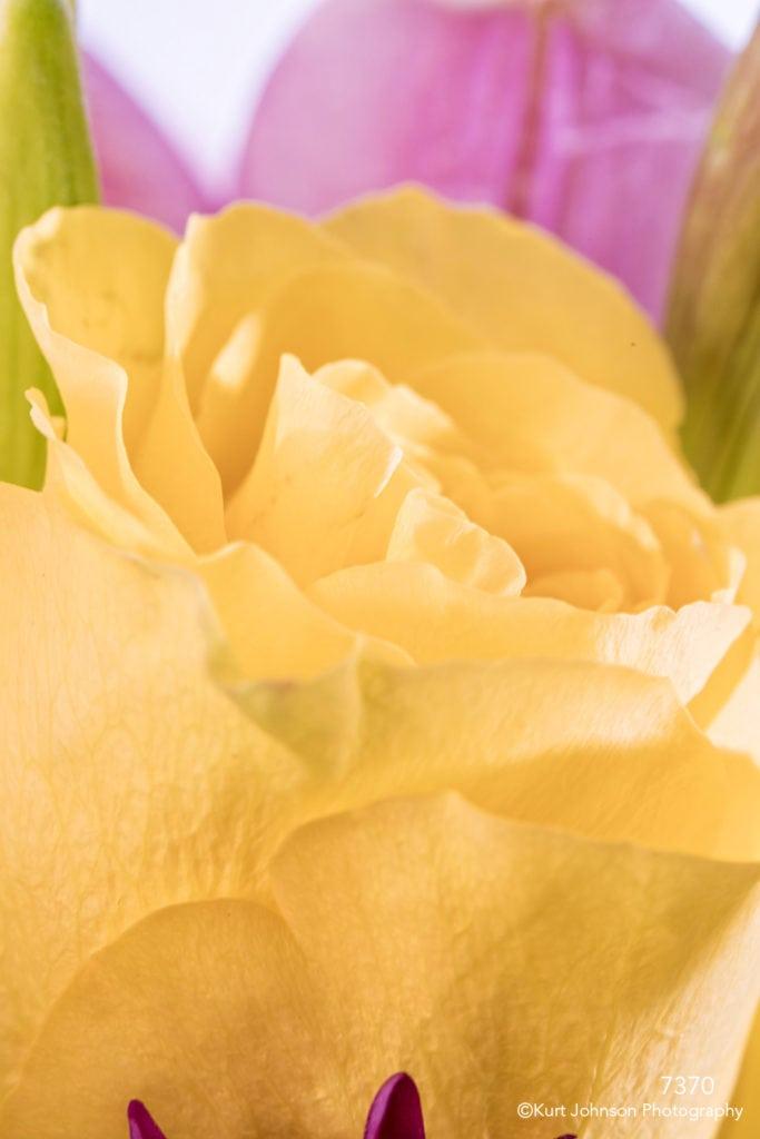 flower rose yellow petals bud blooming macro