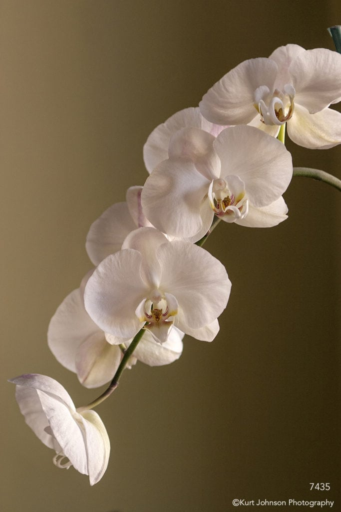 flower white orchids