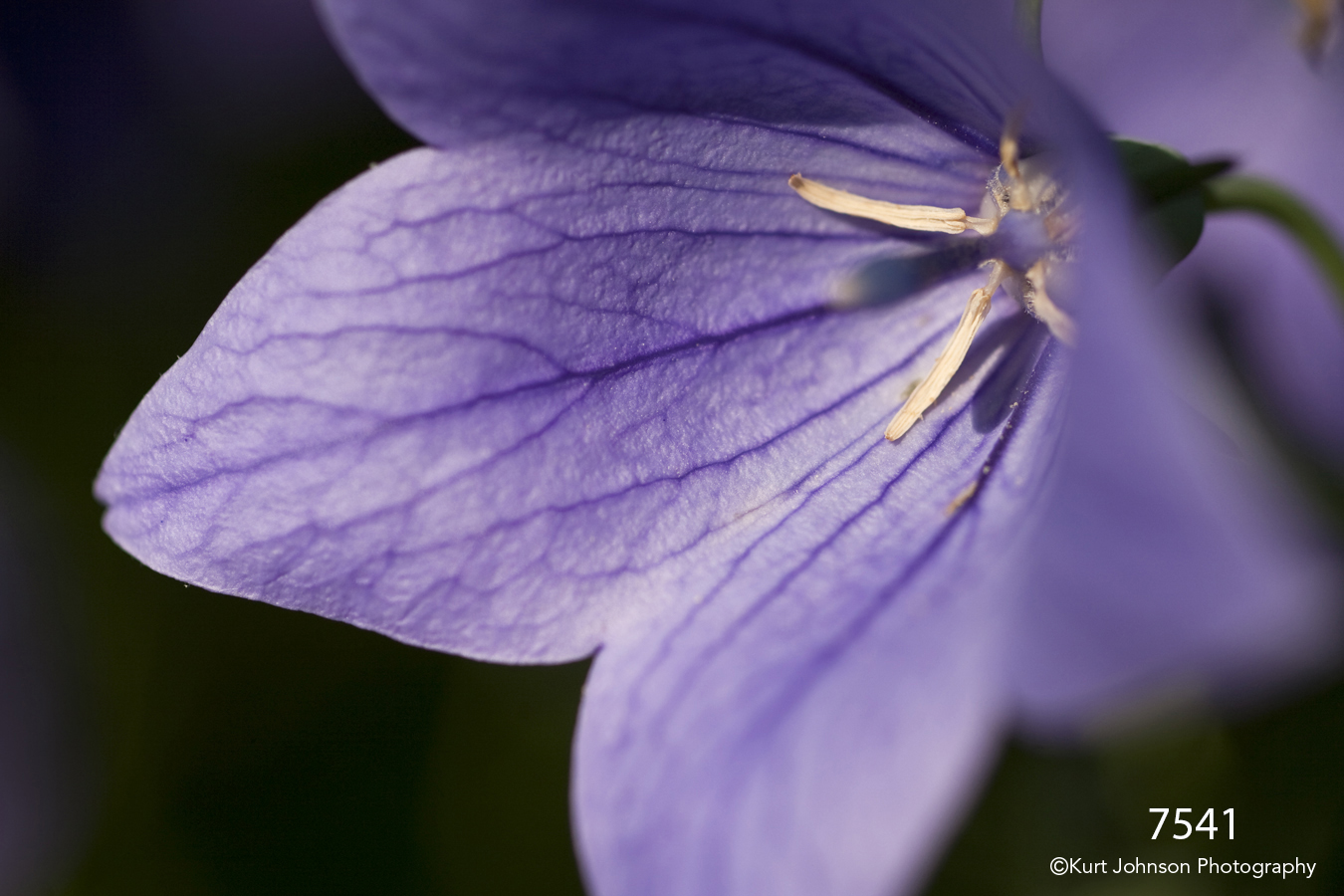 flower purple texture petals bellflower