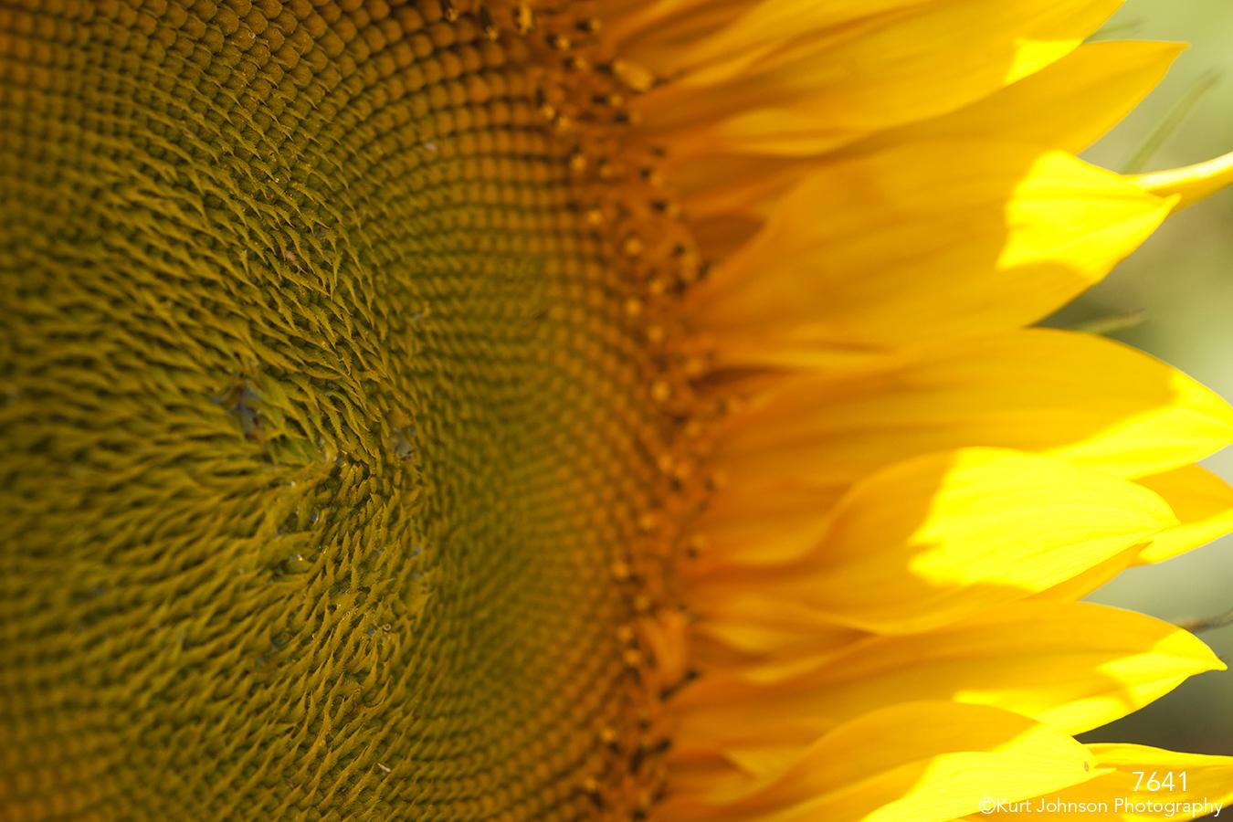 flower sunflower close up detail texture abstract yellow petals