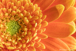 flower orange close up details petals gerber daisy texture
