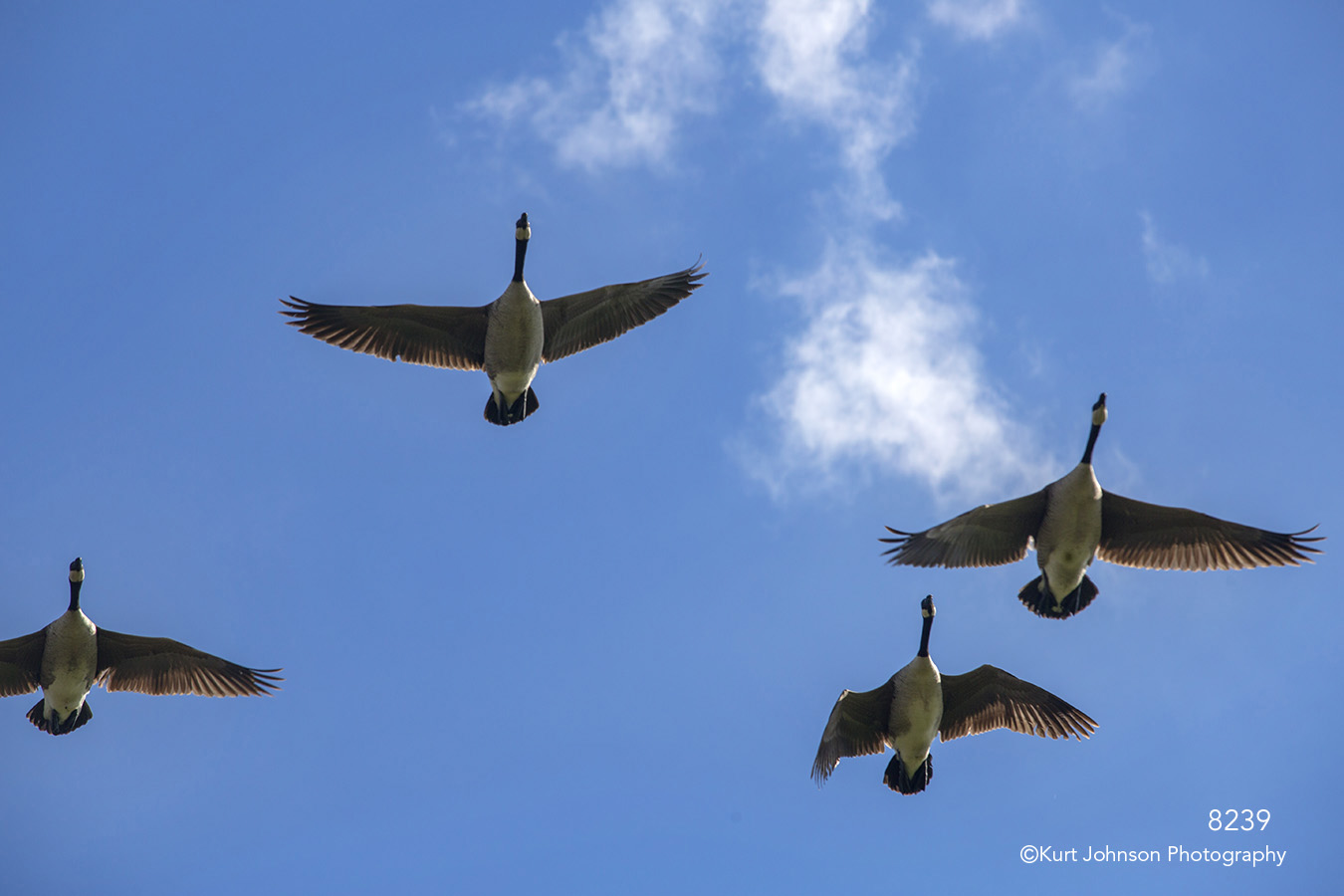 wildlife geese blue sky clouds birds