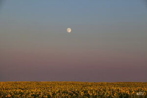 landscape sunset flower sunflowers moon