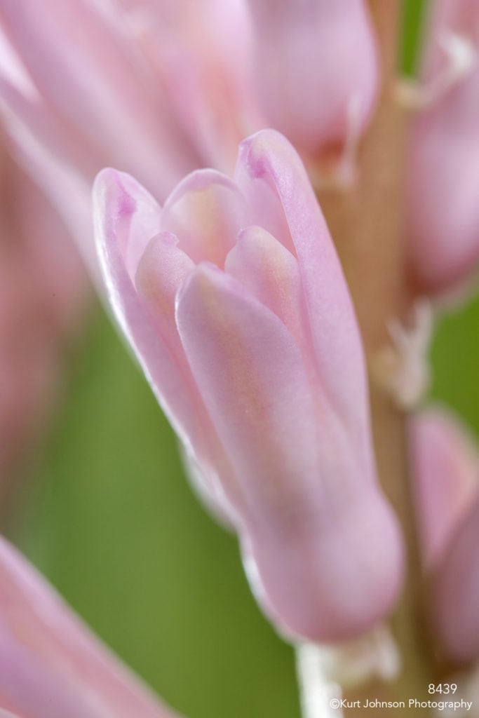 flower pink hyacinth close up detail petals bud blooming