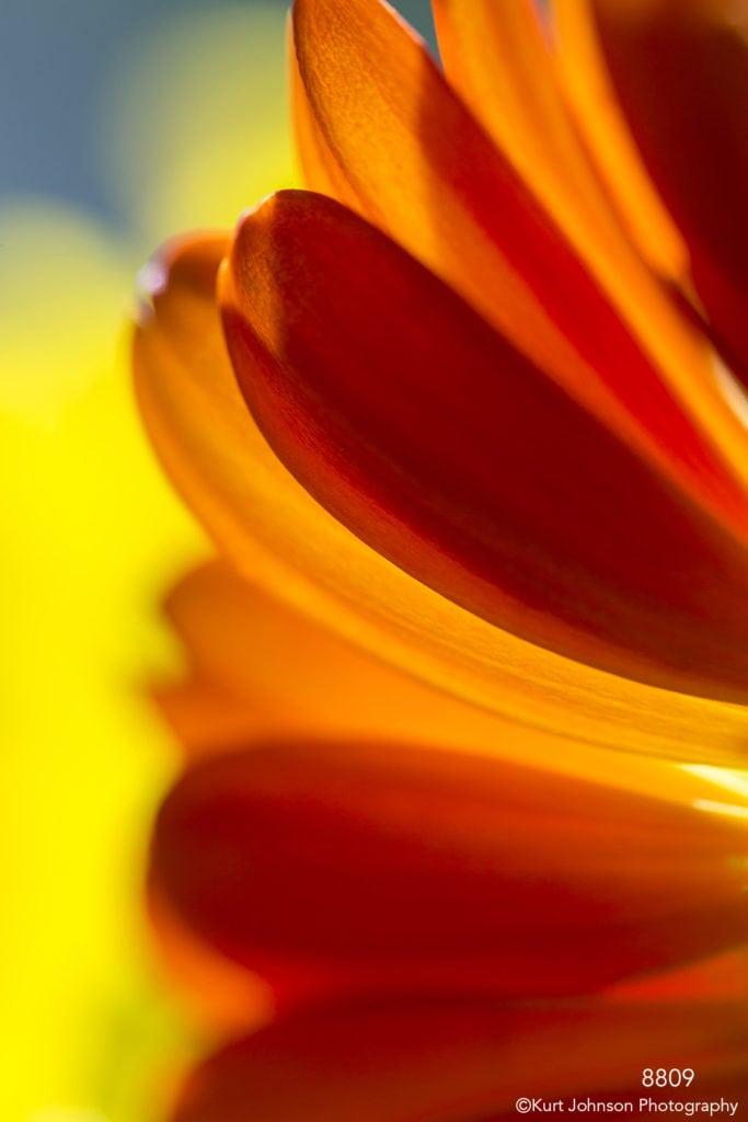 flower orange petals details abstract light daisy yellow