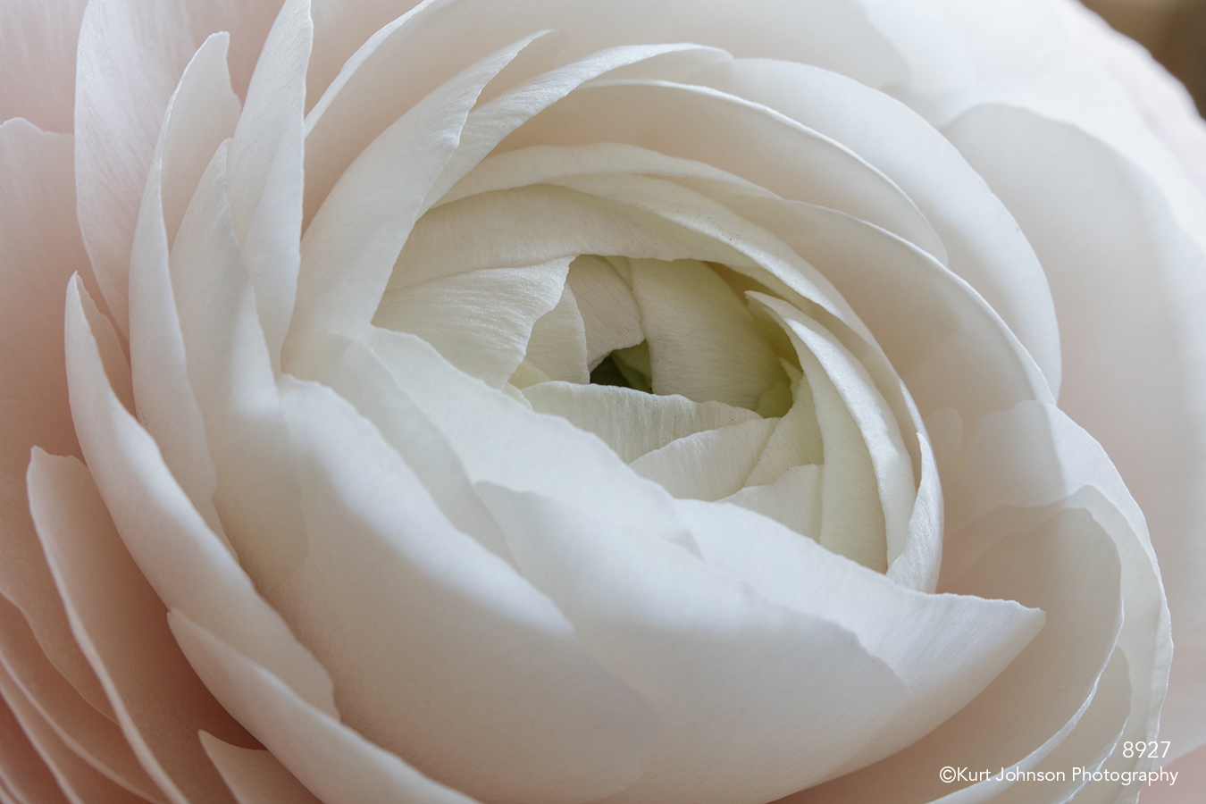 flower pink white bud blooming petals abstract