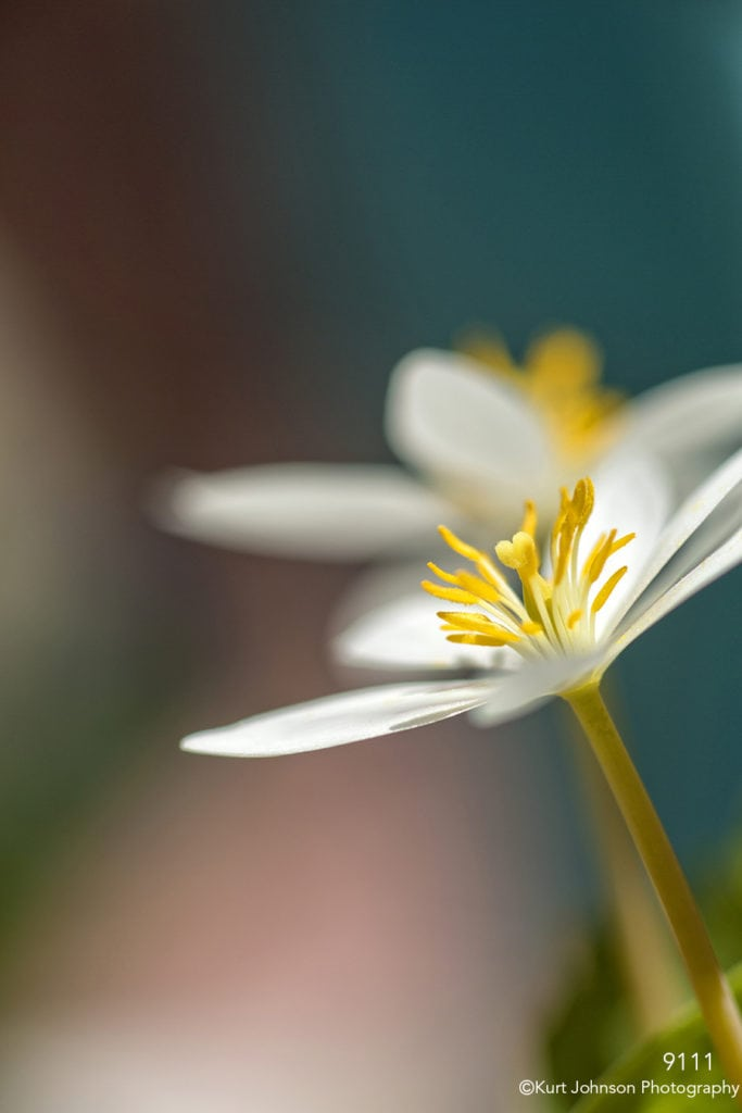 flower white blood root blooming blue