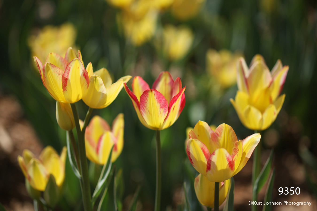 flower yellow tulips red flowers