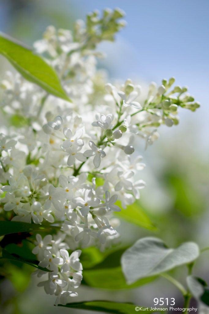 flower white blooming flowering tree
