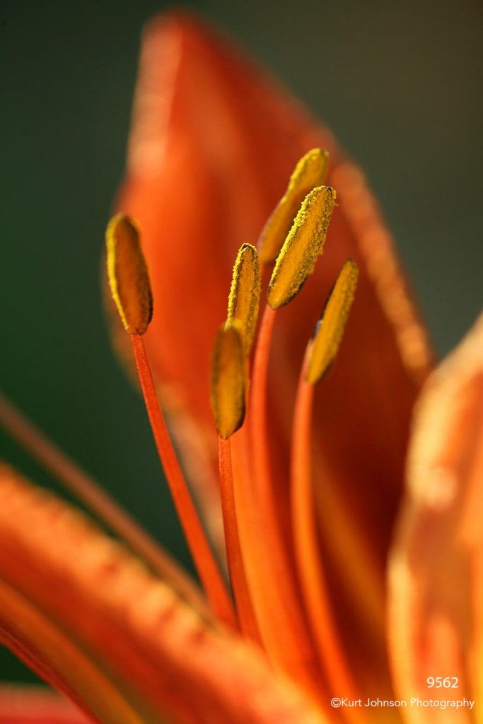 flower lily orange close up detail texture abstract