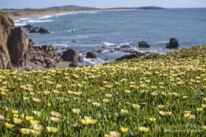 waterscape landscape flowers yellow ocean rocks california