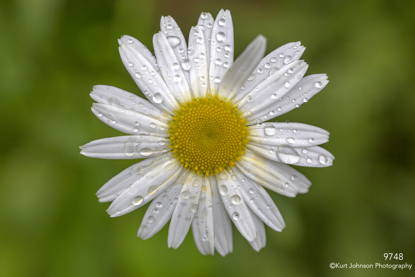 flower white rain drops chamomile close up texture details petals