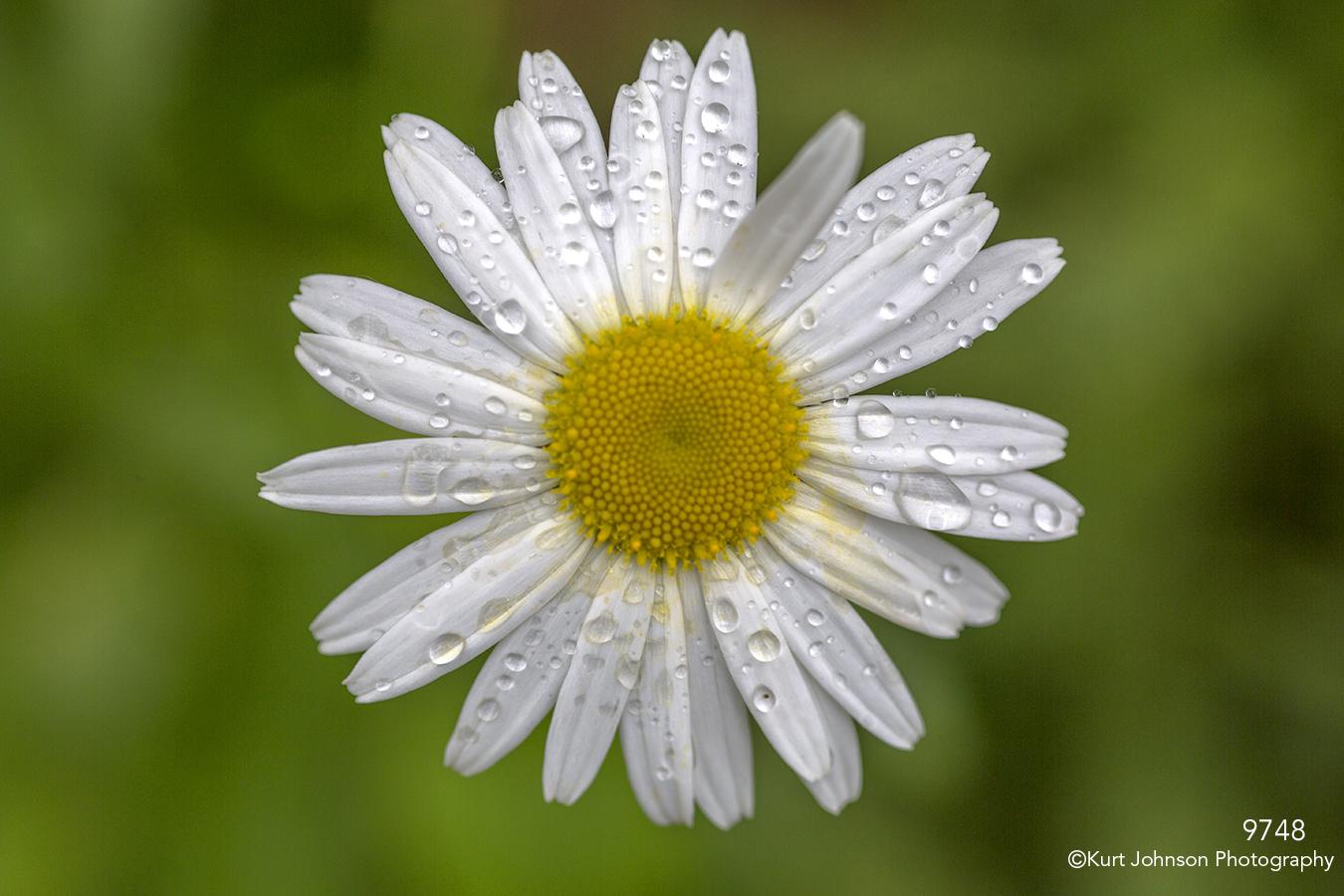 flower white rain drops chamomile close up texture details petals