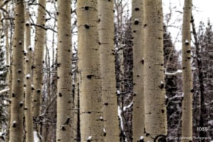 interpretations interpretation filter forest trunks trees birch snow winter brown