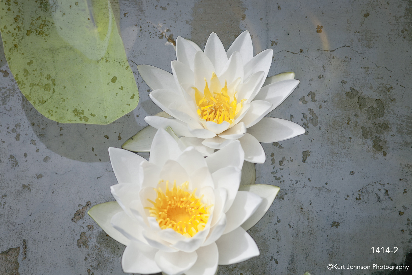 interpretations interpretation filter texture concrete white flower lily leaf flowers water