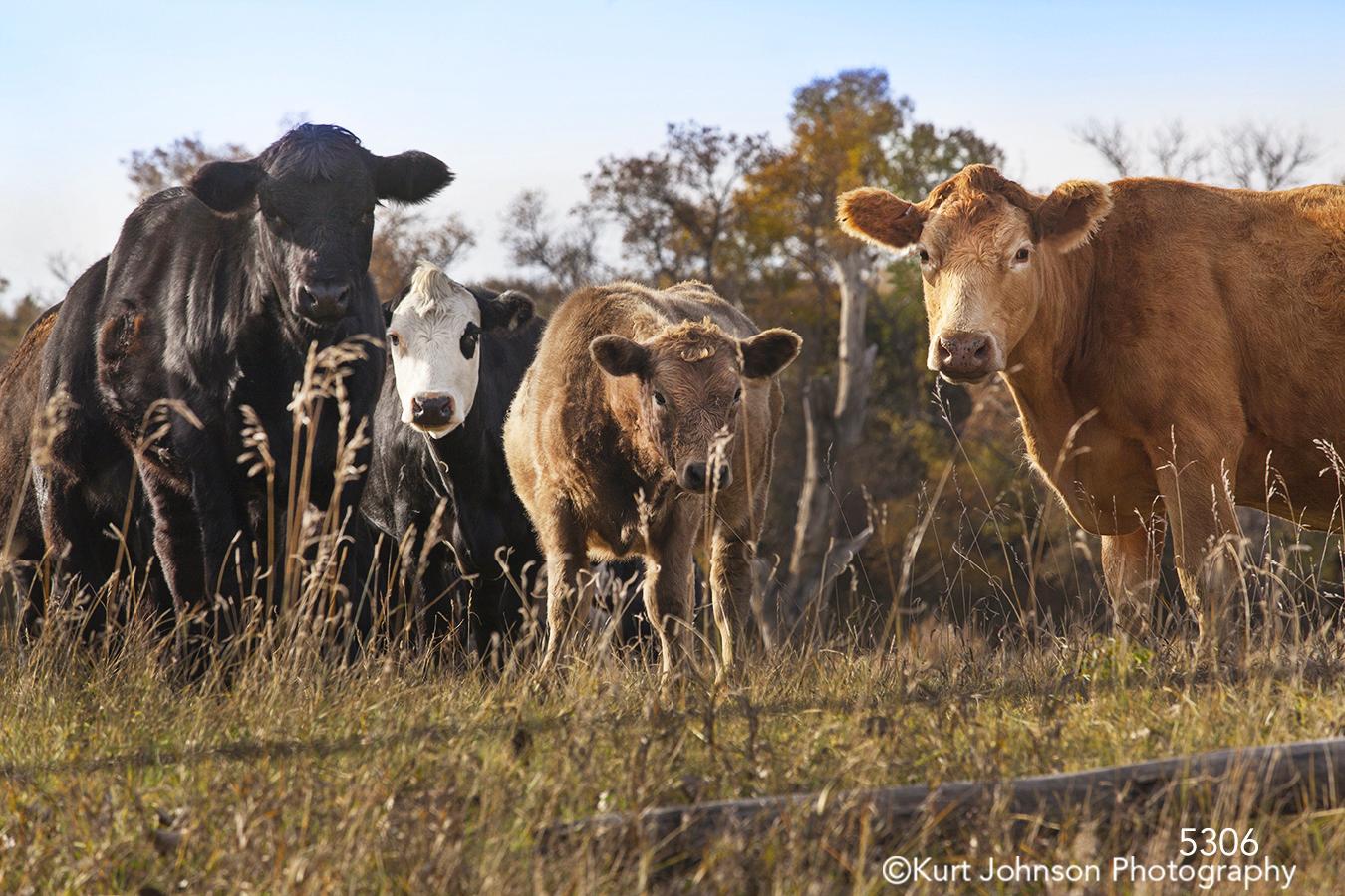 wildlife cows rural grasses fence farm