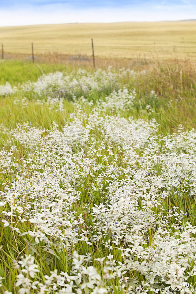 landscape flowers white fields grasses fence rural dakota midwest