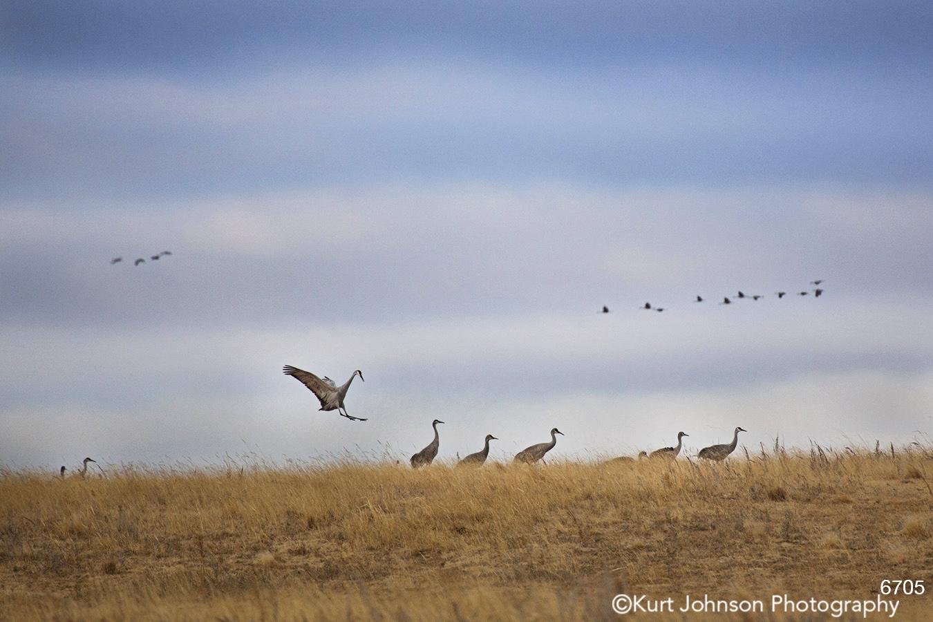 wildlife cranes landscape sandhill birds