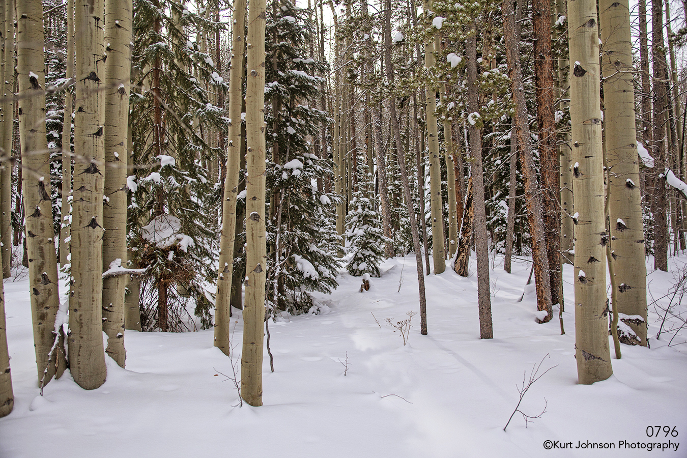 landscape trees forest birch winter snow colorado