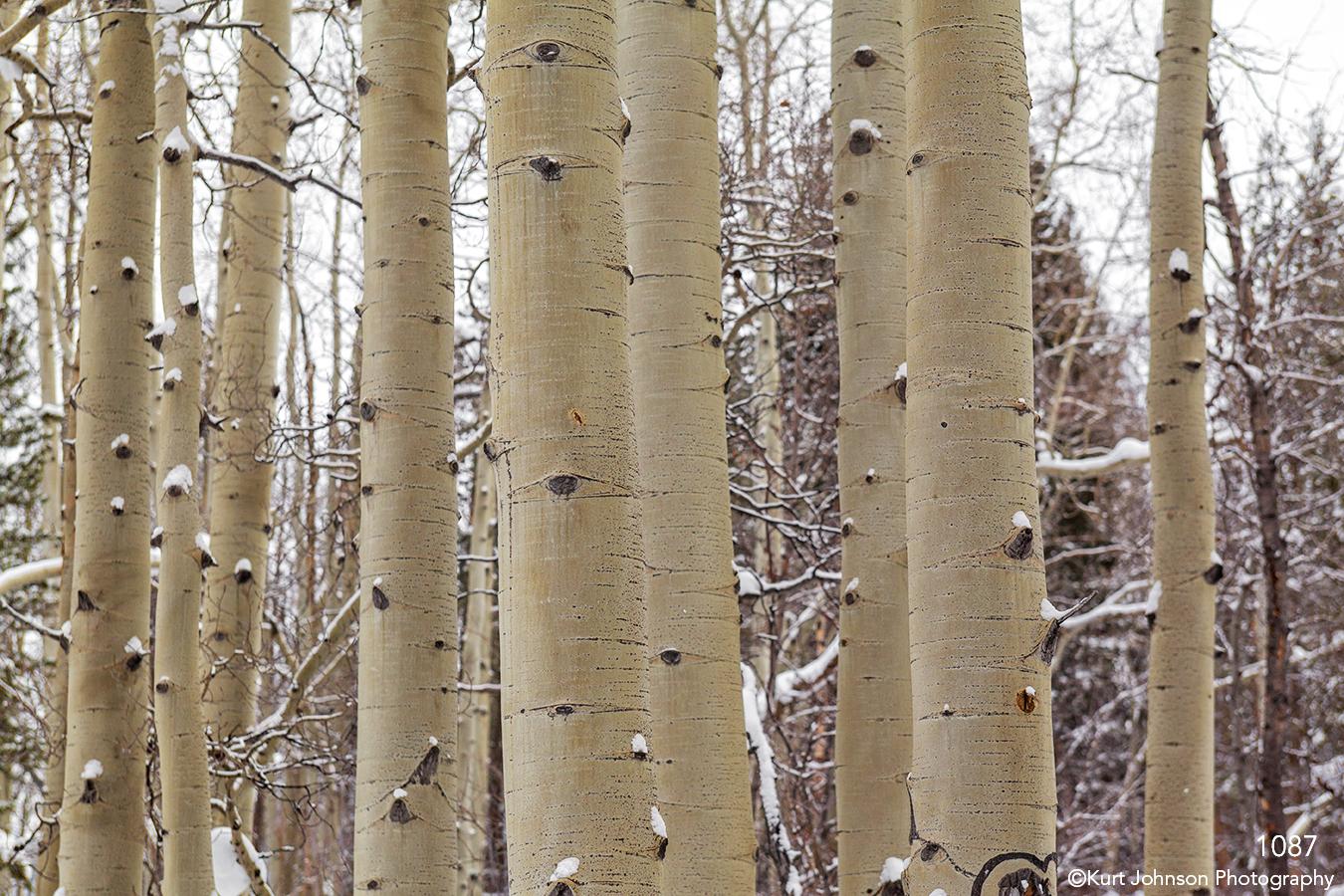 trees forest trunks bark birch winter snow white