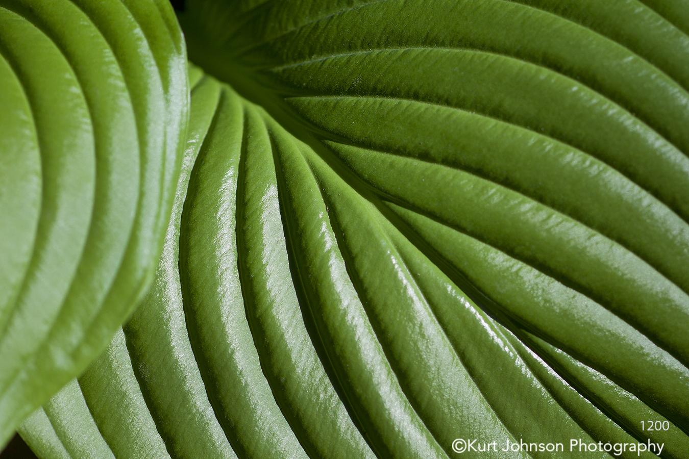 detail closeup hosta texture lines leaf green