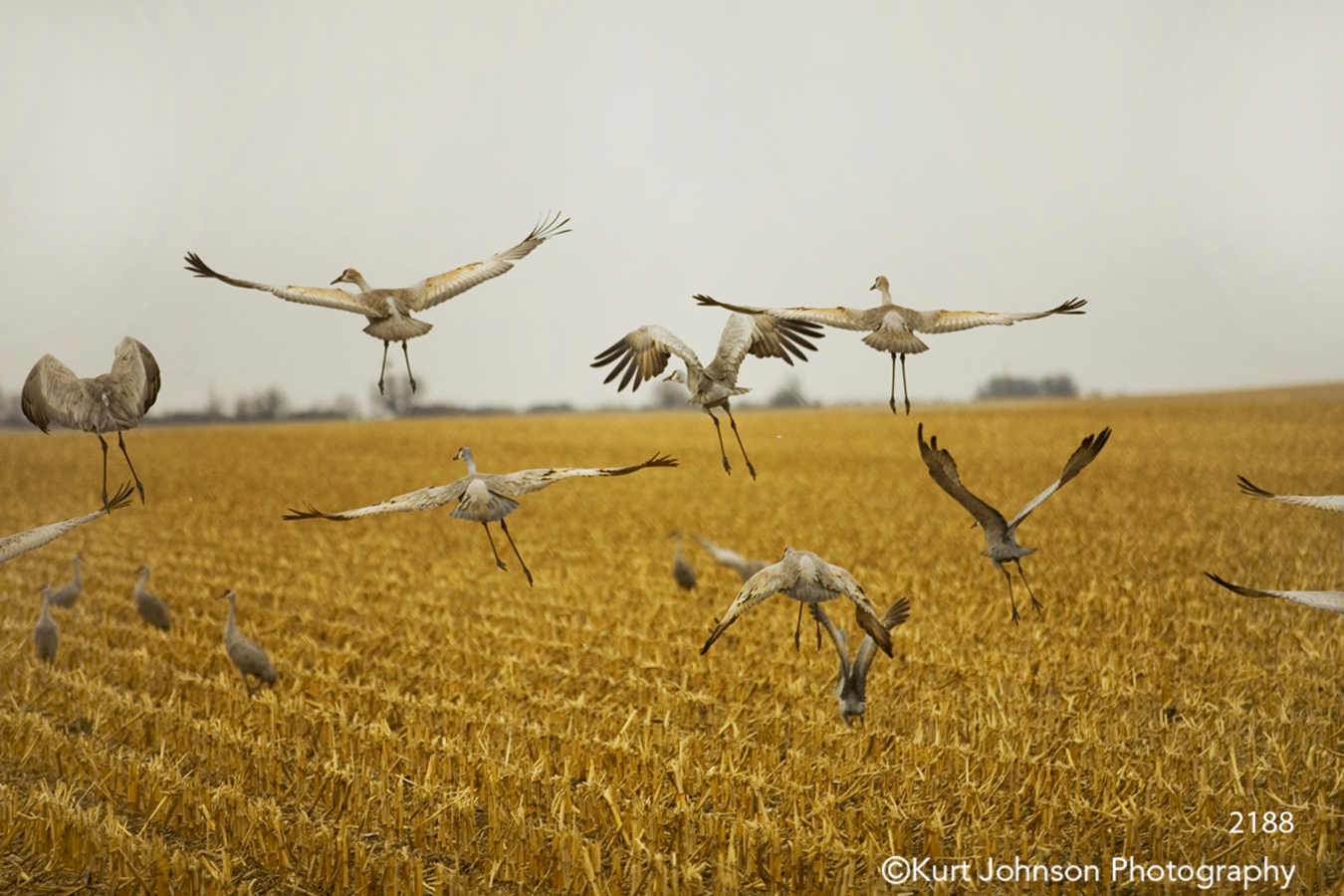 sand hill cranes wildlife midwest yellow gold field wings sky