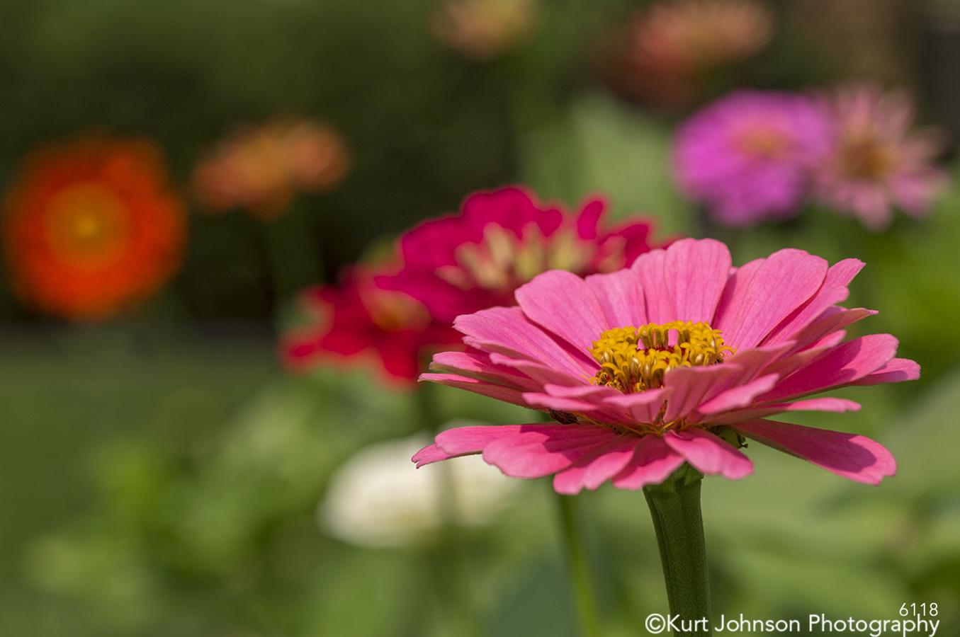 flower pink petals garden flowers